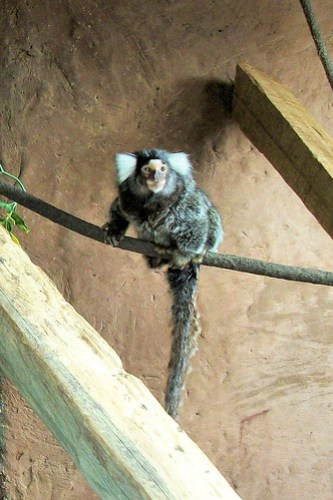 Common Marmoset
