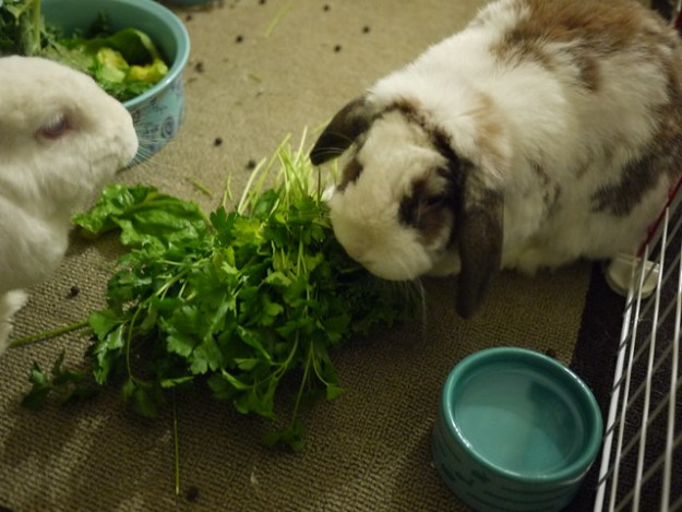 betsy nomming on parsley
