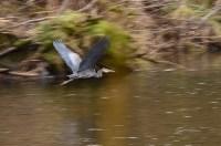 蓝鹭在全速飞行