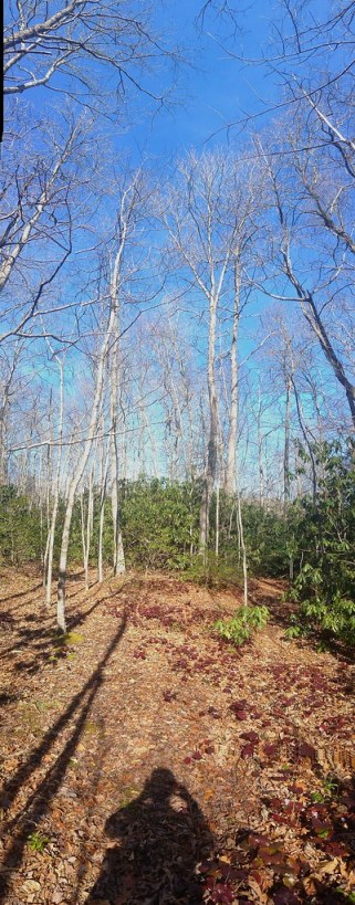 A vertical panaroma of the forest behind my home