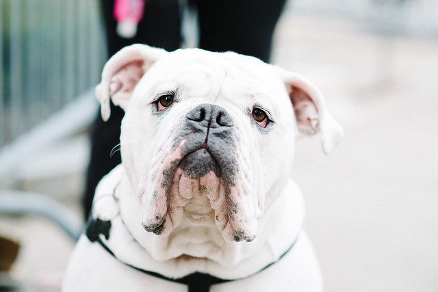 Photo:Bulldog By:chase_elliott
