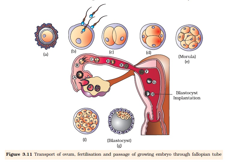 NCERT Class XII Biology Chapter 3 : Human Reproduction Image by AglaSem