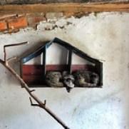 Dalat coffee weasel