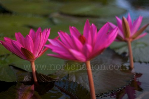 9 Lake Sebu lotuses