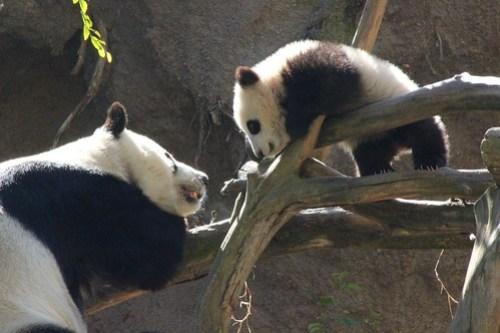 Panda Cub Xiao Liwu