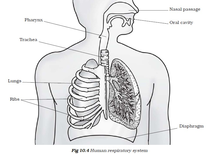 NCERT Class VII Science Chapter 10 Respiration in Organisms Image by AglaSem