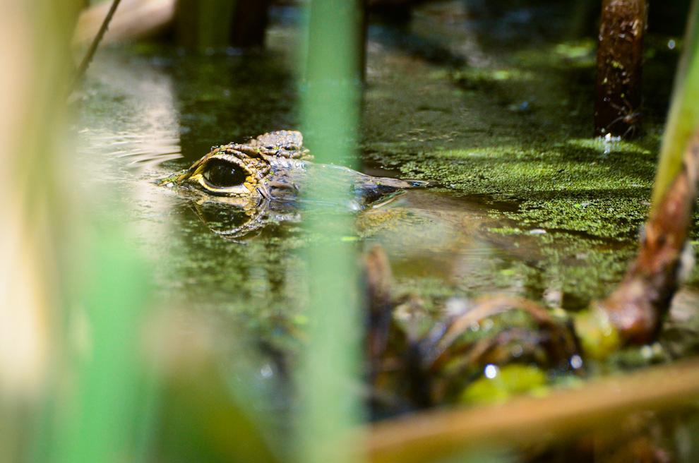Un Yakaré aguarda serenamente el momento en que alguna presa descuidada (patos mayormente) se acerce a su boca, en una laguna de agua dulce cerca del mirador de Laguna Campo María. (Elton Núñez)
