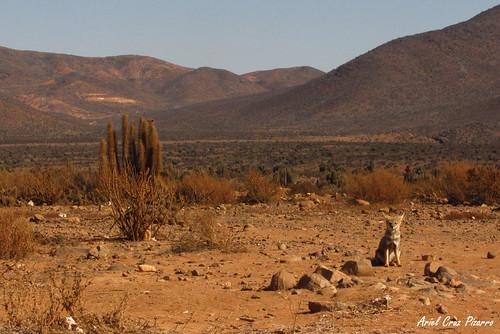 Zorro Chilla (Pseudalopex griseus) - Valle de los Choros