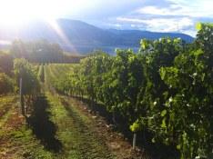 Daydreamer Merlot vineyard - 2013 copy