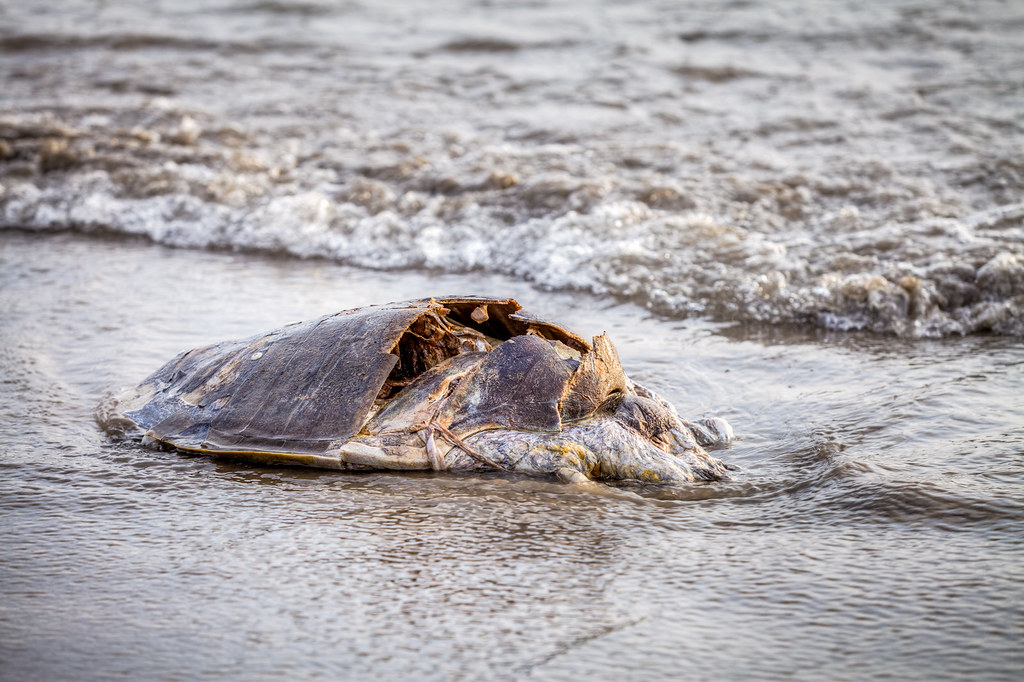 Turtle Carcass - Ashwem Beach