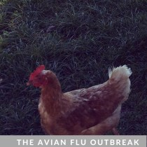 the-avian-flu-outbreak-advice-and-help-for-poultry-keepers