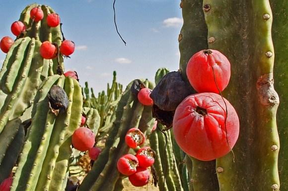 Cereus-repandus-644-x-429