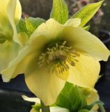 Helleborus yellow