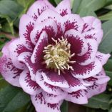 Helleborus x hybridus double pink spotted
