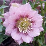 Helleborus x hybridus double pale pink