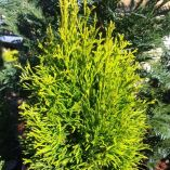 Thuja occidentalis 'Golden Smaragd'