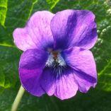 Viola odorata 'Glanmore'