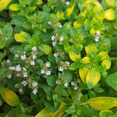 Herb Oregano 'Golden Tip'