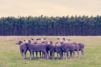 Purple Sheep GRAY MALIN dream series FashionDailyMag