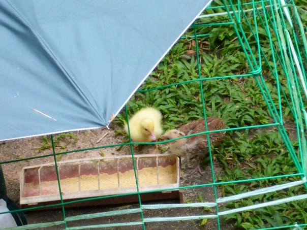 A duckling shares food with a chick!
