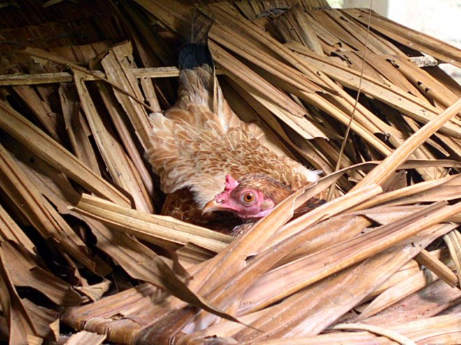 A hen found this bed of nipa under the house and laid her eggs there.