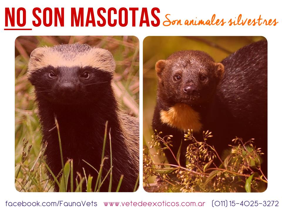 hurón mayor (Eira Barbara) y el hurón menor (Galictis Cuja). No son mascotas son animales silvestres - trafico ilegal de hurones