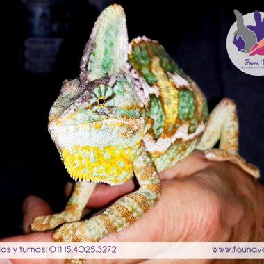 Camaleón con lesión en la cola - veterinario exoticos camaleones - hemipene - buenos aires