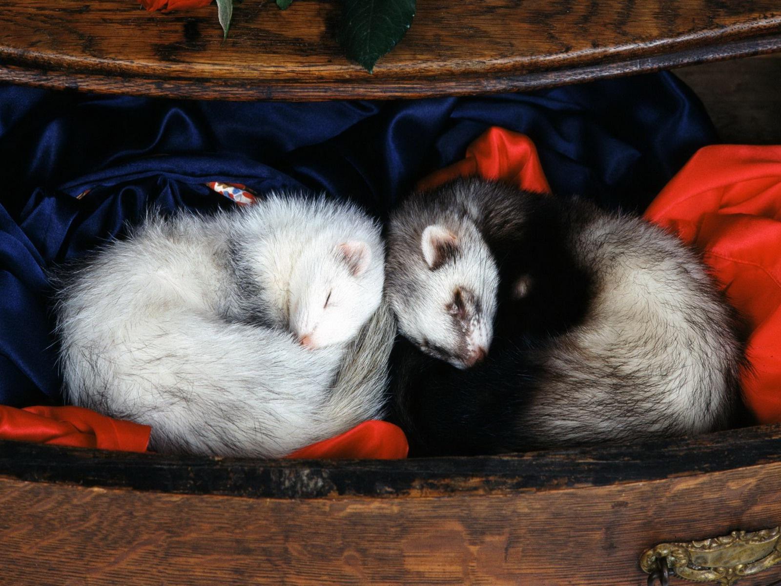 La importancia del fotoperiodo en los hurones- que es? - veterinario buenos aires