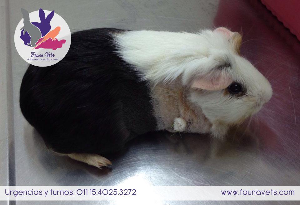 Cirugia Cobayo - veterinario de exoticos silvestres no tradicionales buenos aires