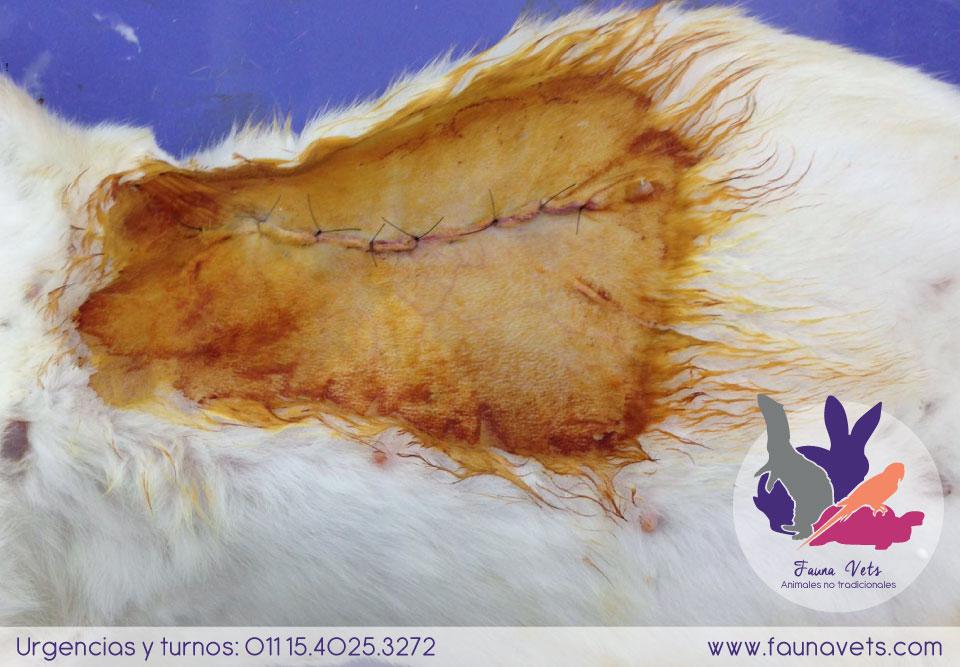 Conejo con tumor mamario
