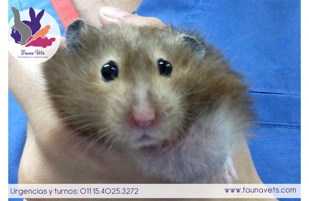 Hamster con tumor en el cuello