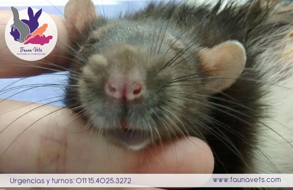 Rata con tumor sub cutaneo - cirugia - veterinarios - exoticos
