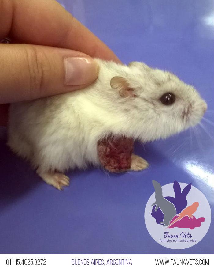 Hásmster Ruso con tumor en extremidad delantera - veterinario exoticos - buenos aires