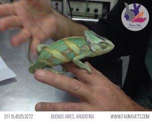 hemipene-2-camaleon-veterinario-enfermo-salud-buenos-aires-exoticos-fauna