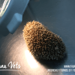 erizo-pigmeo-africano-veterinario-corte-tuerto-exoticos-fernando-pedrosa-