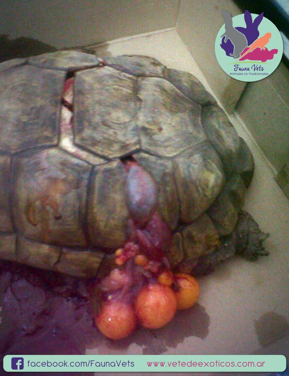 tortuga atropellada veterinario fernando pedrosa fauna vets exoticos animales