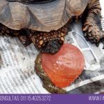 tortuga con pico largo prolapso de vejiga veterinario exoticos buenos aires fernando pedrosa 6
