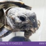 tortuga con pico largo prolapso de vejiga veterinario exoticos buenos aires fernando pedrosa