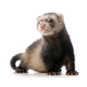 huron ferret que comen dieta veterinario fauna vets buenos aires especialista exoticos