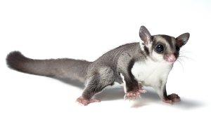 petauro-del-azucar-sugar-slider-veterinario-exoticos-dieta