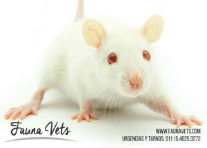 rata-con-secrecion-rojiza-2-sangre-recinto-veterinario-6-exoticos-fauna-vets-pedrosa-buenos-aires