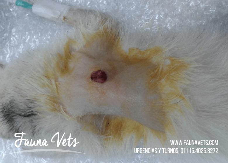 huron hurones lesion sangrante en el dorso - veterinario - fauna vets
