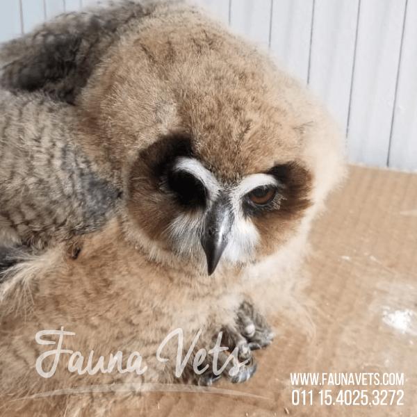 Pichón de Lechuzón Orejudo rescatado Fauna Vets Camila Lascano y Vedia