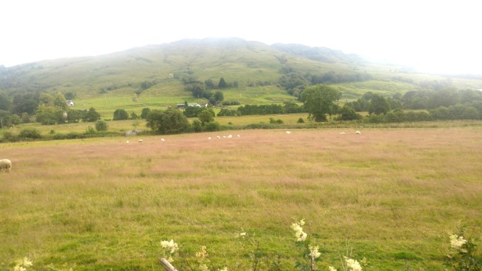 The field with pink grass and sheeps that I couldn't get hold of