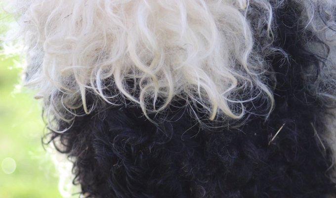 valais-blacknose-sheep06