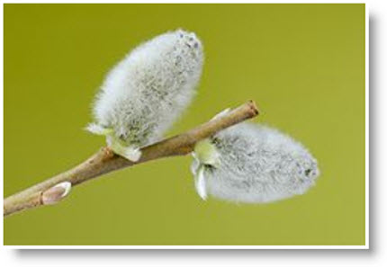 felted pussy willow