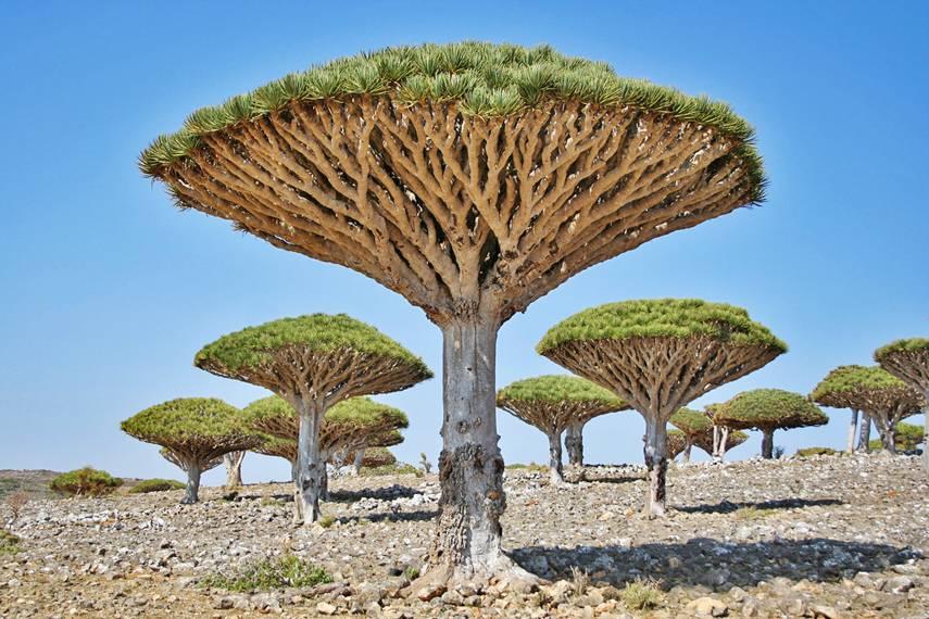 socotra_trees