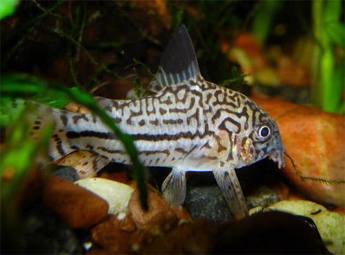 What are some good pet fish for a newbie?   FindersFree: What do you