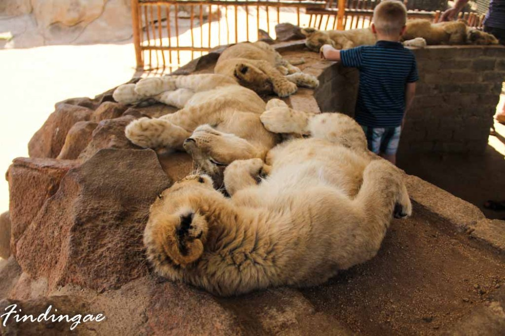Seeping lion cubs