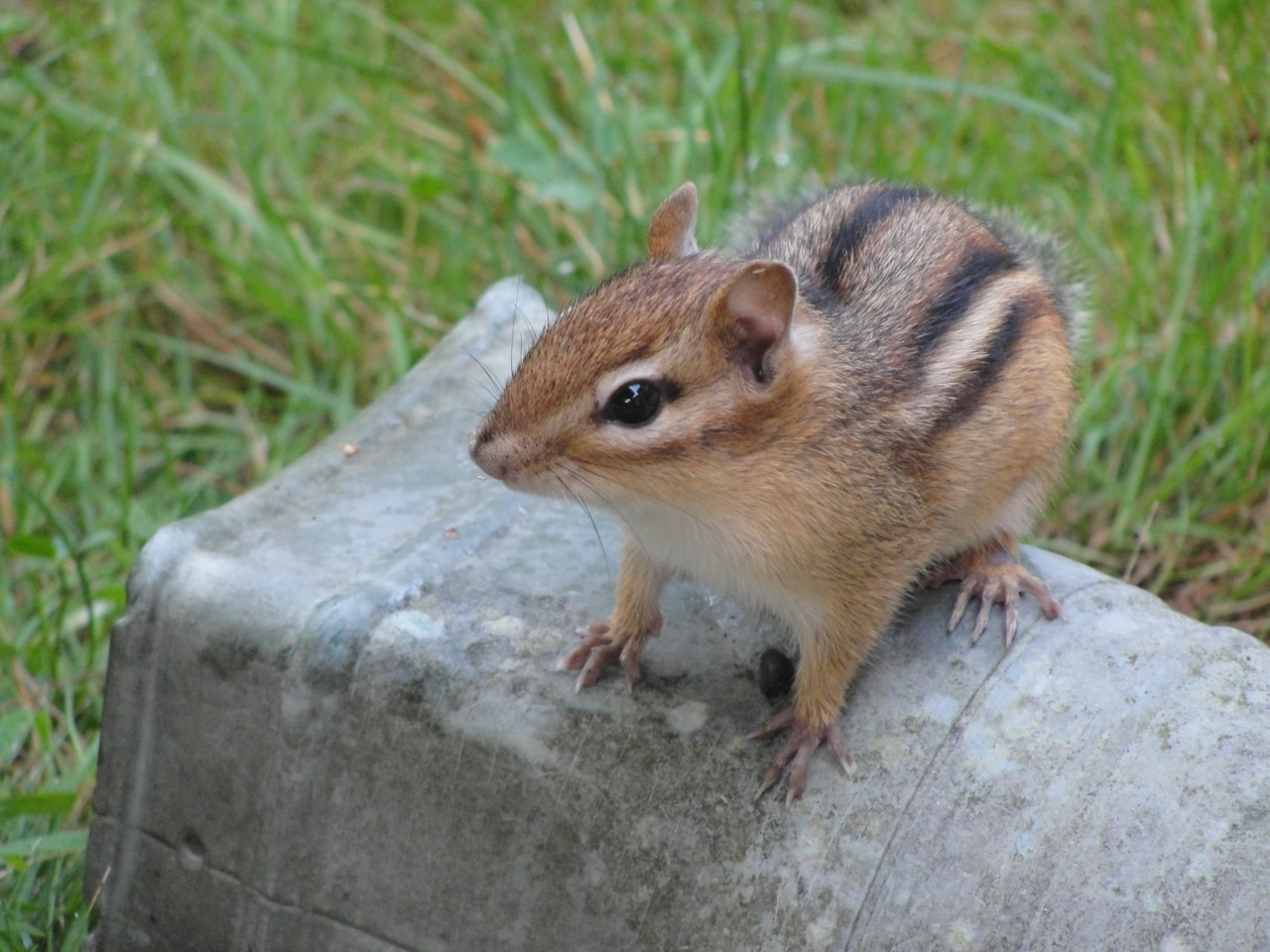 Pretty Chipmunks Without Killing M Chipmunk August 2015 Finding Our Way Home Getting Rid Chipmunks Ly Getting Rid houzz 01 Getting Rid Of Chipmunks
